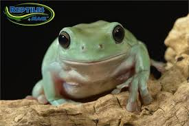 whites tree frog sheet reptiles by mack