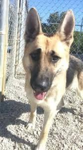 belgian sheepdog on petfinder adopt bella on german shepherd dogs shepherd dog and german
