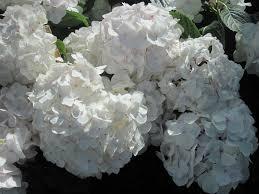 White Hydrangeas Flowers Flowers Photography Hydrangea Camera Green Date Garden