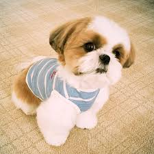 shih tzu haircuts how to clip your dog s nails without any stress shih tzu cute