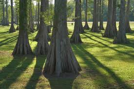 Louisiana forest images Photo 512 12 cypress forest at bayou l 39 ourse nature trail near jpg