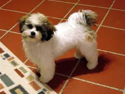 shichon haircuts designer teddy bears puppy references