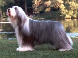 bearded collie x terrier saved by dogs kinds of collies big or little something for most