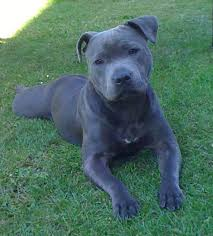 blue american pitbull terrier best 25 terriers ideas on pinterest terrier terrier dogs and