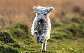 bedlington terrier guard dog welsh terrier dog breed atlas