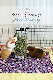 cali cavy collective a about all things guinea pig 11 tips