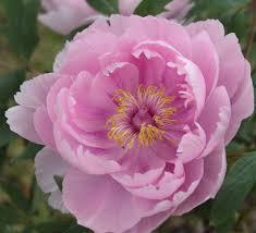 akashigata lavender pink tree peony paeonia suffruticosa kelways