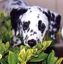 paisley dalmatians puppy information pictures