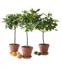 miniature potted citrus trees vivaterra