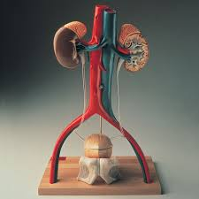 denoyer geppert free standing human urinary system model