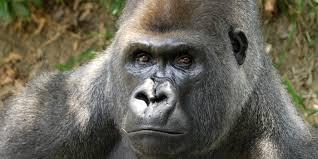 adopt a western lowland gorilla smithsonian u0027s national zoo
