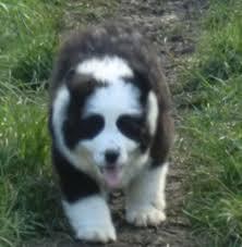 australian shepherd newfoundland bernese mountain dog x newfoundland ferryhill county durham