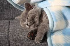 sleeping on short hair british shorthair baby sleeping stock image image of playing