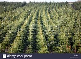 christmas tree farm uk stock photos u0026 christmas tree farm uk stock