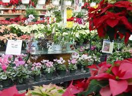 Plant Used As A Christmas Decoration Poinsettias Aren U0027t The Only Plants That Can Be Used For Christmas