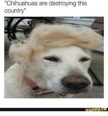 Funny Chihuahua Memes - 25 best memes about chihuahuas chihuahuas memes