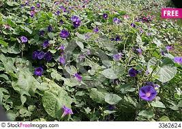 Purple Flower On A Vine - purple flower vines free stock photos u0026 images 3362624