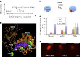 An improved monomeric infrared fluorescent protein for neuronal and