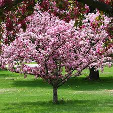 robinson crabapple tree for sale fast growing trees