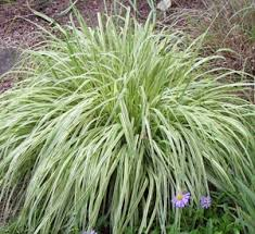 ornamental grasses lawn landscape