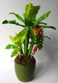 mini banana tree pin by gramescu on plant pinterest plants