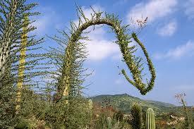 boojum tree san diego zoo animals plants
