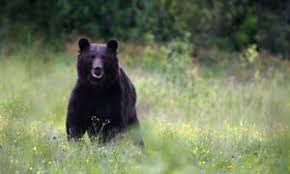 how the brown bear became public enemy number one in rural romania