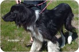 afghan hound poodle cross vincent adopted dog fort morgan co afghan hound