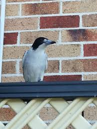 Magpie Birds In Backyards Common Backyard Birds In Se Queensland U2013 My Wild Australia