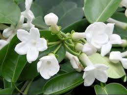 stephanotis flower how to grow and care for house plants stephanotis floribunda