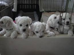 1 week old bichon frise frosty bichons bichon frise puppy