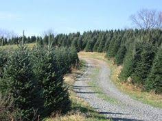 boone nc christmas tree choose and cut farm big ridge tree farm