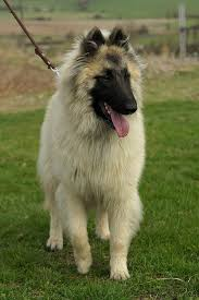 belgian shepherd dog temperament best 25 tervueren ideas on pinterest belgische