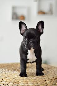 408 best animals u003c3 images on pinterest puppies dogs and french