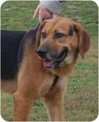 australian shepherd lab mix for sale wren adopted dog huntingburg in german shepherd dog