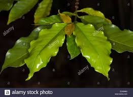cluster of emerald leaves and new growth of coffee tree