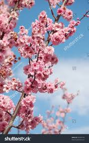 cherry blossom flowers on cherry stock photo 46425193