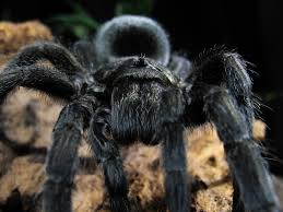 100 tarantula edible the edible insect six pack edible