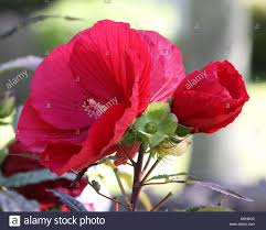 which state has a hibiscus native hibiscus stock photos u0026 native hibiscus stock images alamy
