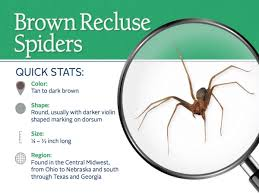 brown recluse spiders control images u0026 spider facts