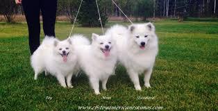 american eskimo dog nz the 25 best toy american eskimo ideas on pinterest american