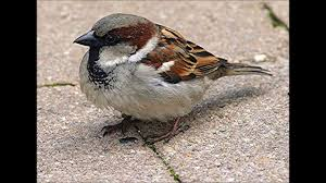 Sparrow by How Does House Sparrow Chatter Calls Sounds Youtube