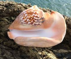 where to buy seashells sea shells for sale buy sea shells from the uk large and small