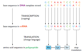 hsc biology syllabus dot point summary genetics the code broken