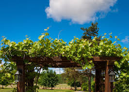 Plants For Pergola by Grow Vines For Shade Garden Club