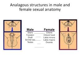Male And Female Anatomy Male Reproductive System