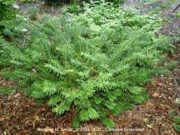 native japanese plants plants that tolerate drought extension clemson university