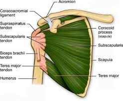 Tendons In The Shoulder Diagram Shoulder Stretches Are Necessary To Maintain Balance In The