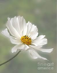 Cosmos Flower Essence - white cosmos photo i have always loved cosmos floral photos