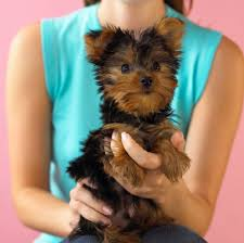 haircuts for yorkie dogs females https i pinimg com originals fd b3 03 fdb3036218